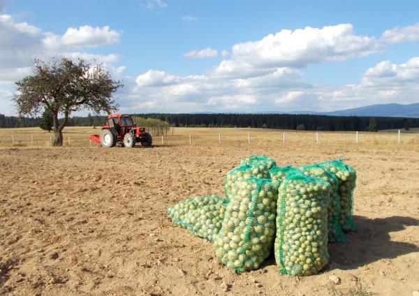 A Vidéki Pékség saját termesztésü burgonyája